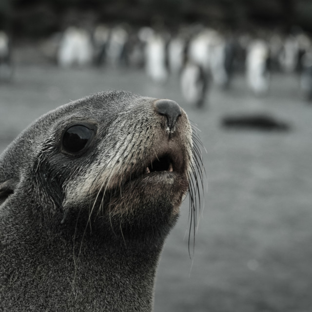 """Portrait of a Fur Seal"" stock image"
