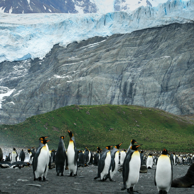 """King Penguins of Gold Harbor"" stock image"