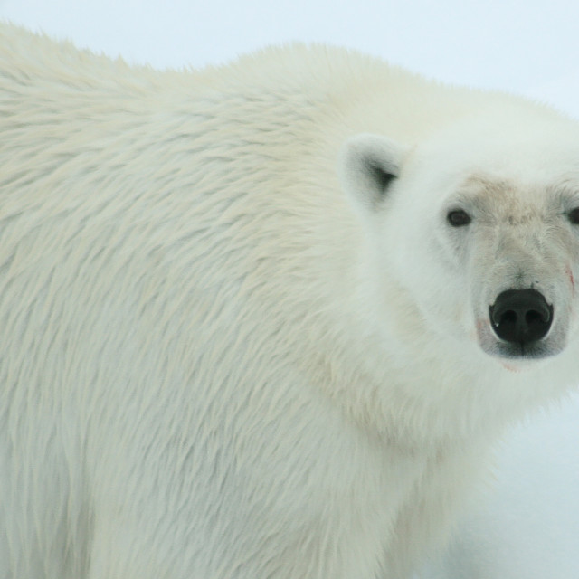 """Portrait of a Polar Bear"" stock image"