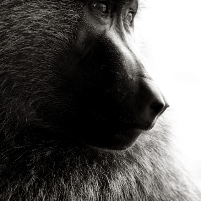 """""""Baboon Face"""" stock image"""