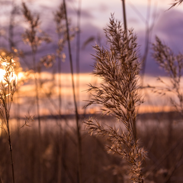 """Reed in evening sun"" stock image"