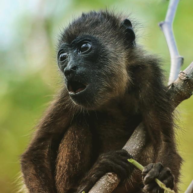 """Baby Howler Monkey"" stock image"