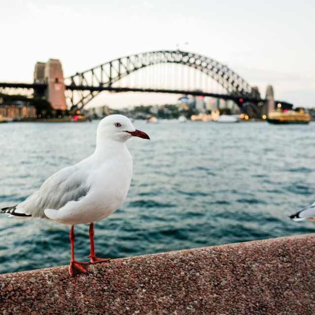 """Seagulls at Sydney Harbour at dusk"" stock image"