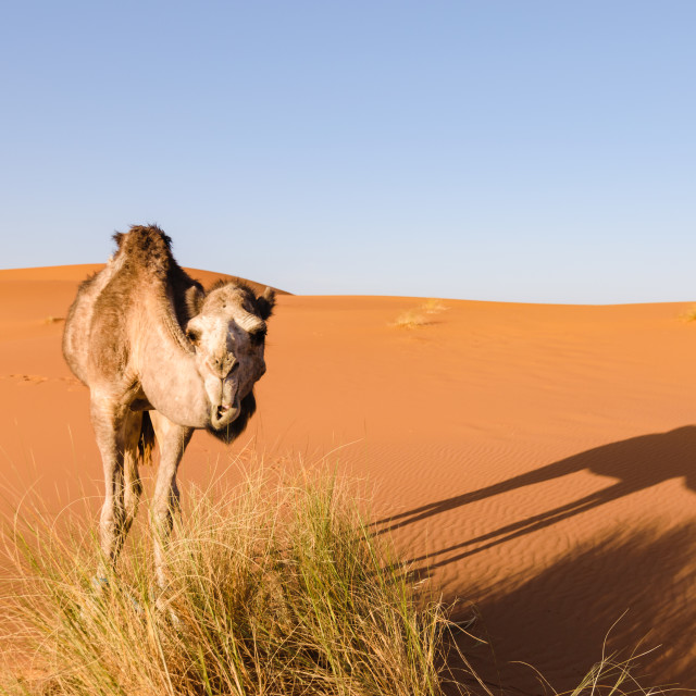 """Camel looks at camera, Morocco"" stock image"