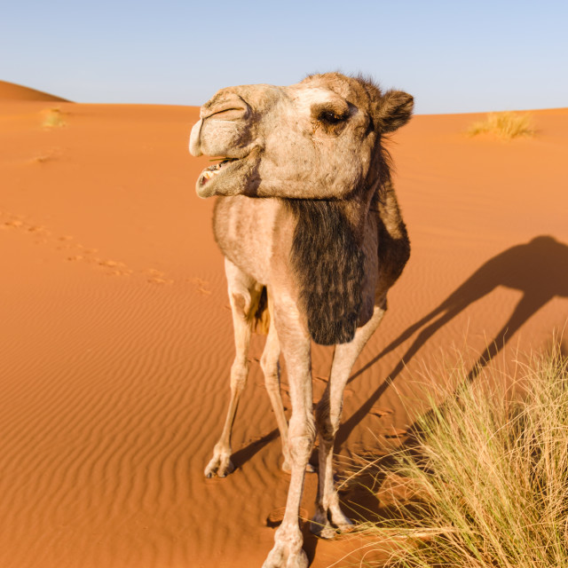 """Camel looks like it is laughing, Erg Chebbi, Morocco"" stock image"