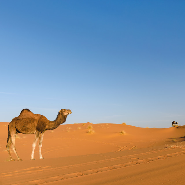 """Dromedary in the desert Erg Chebbi, Morocco"" stock image"