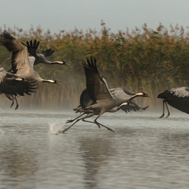"""Cranes (Grus grus) rising for a flight in foggy morning"" stock image"