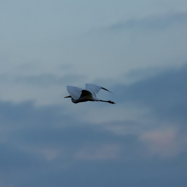 """Great White Egret (Casmerodius albus) in flight against the sky"" stock image"