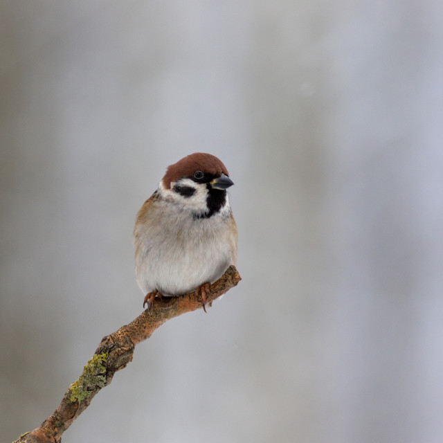"""Tree sparrow (Passer montanus) in winter morning"" stock image"