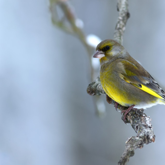 """Greenfinch (Carduelis chloris) sitting on a branch in foggy,cold"" stock image"