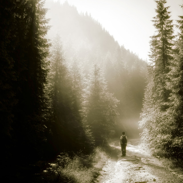 """man walking on misty mountain road through pine trees in the morning, hiking..."" stock image"