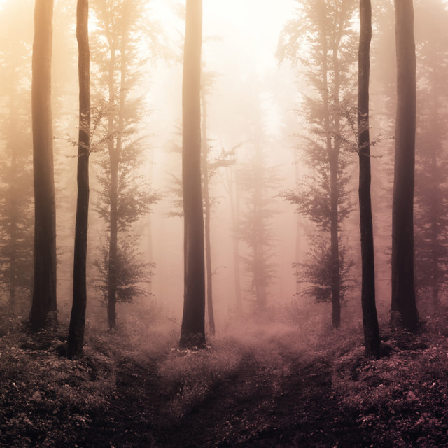 """tree silhouettes in magical surreal forest in sunset light"" stock image"