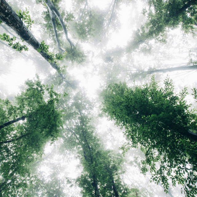 """view toward sky in misty forest with green foliage"" stock image"