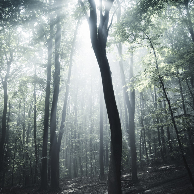 """sun rays in misty forest with old tree"" stock image"