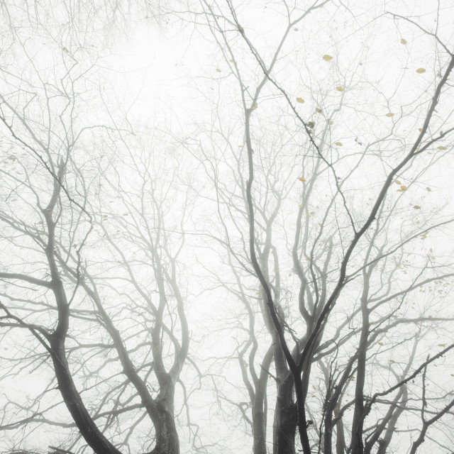 """abstract tree branches in mist background"" stock image"