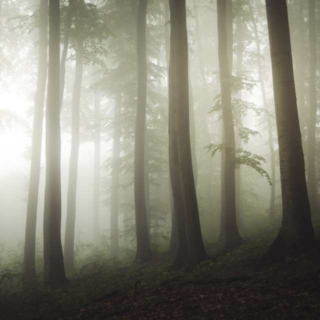 """misty forest in fog background"" stock image"