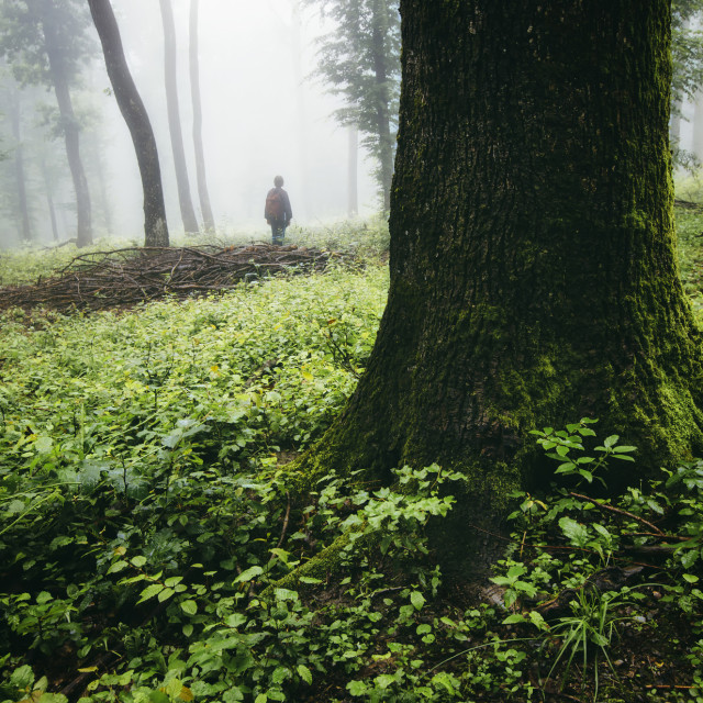 """man silhouette in green forest with old trees and green vegetation,..."" stock image"