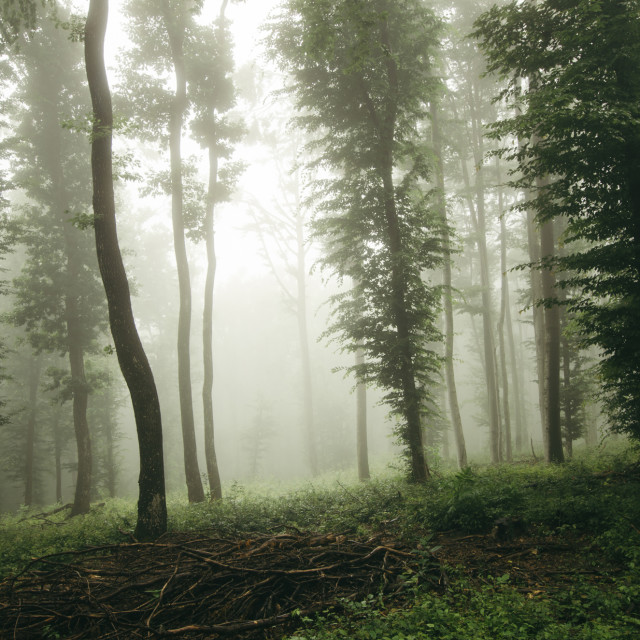 """green trees in misty forest"" stock image"