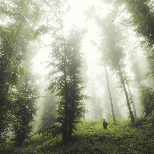 """Man in wilderness. Forest landscape with trees, mist and green foliage in..."" stock image"