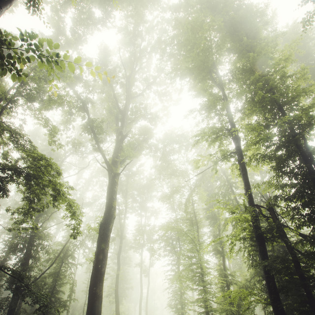 """man explorin green forest with mist old trees and lush vegetation"" stock image"