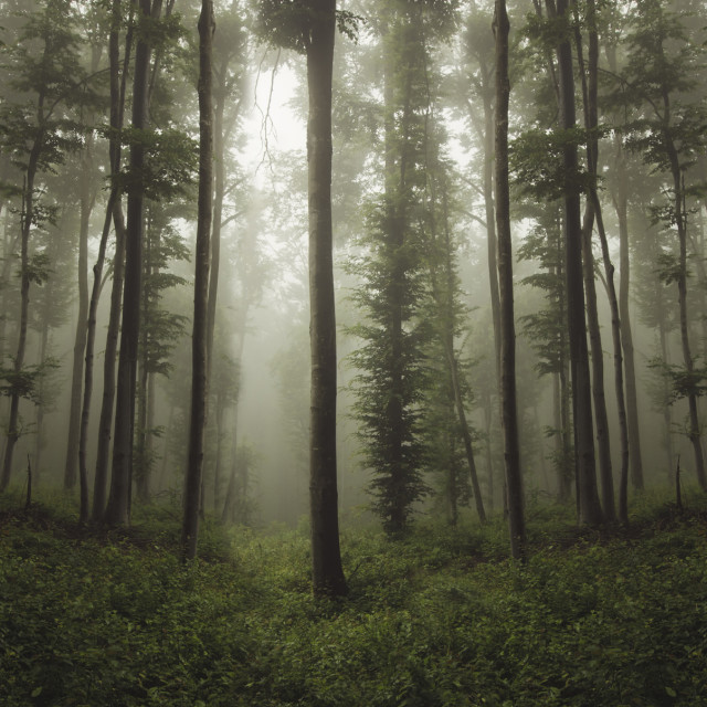 """natural misty forest landscape baclground"" stock image"