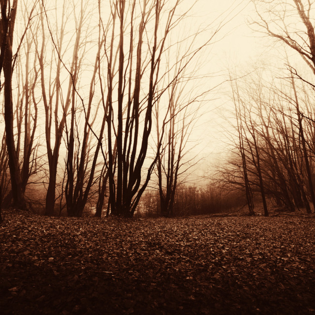 """scary dark woods at twilight"" stock image"