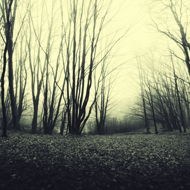 """Scary Halloween landscape with trees in misty forest"" stock image"