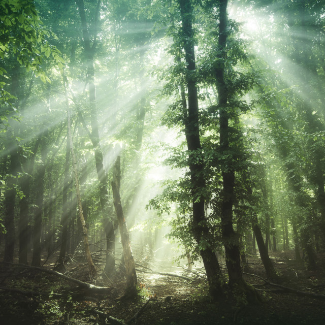 """sun rays in green forest"" stock image"