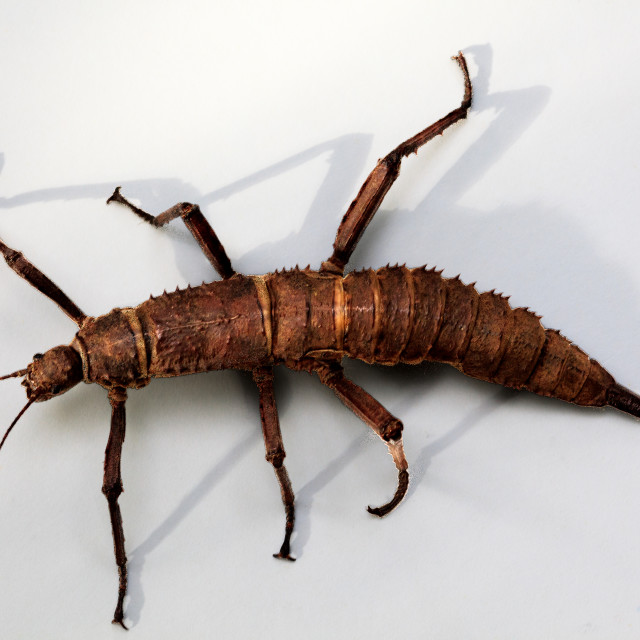 """Stick insect 1"" stock image"