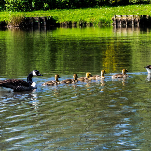 """Duckings with parent ducks on a pond"" stock image"