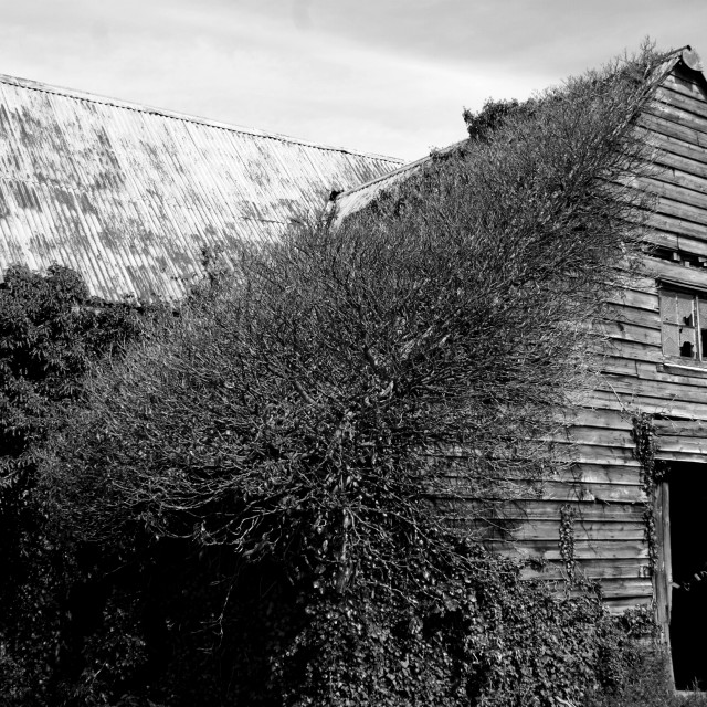"""Barn of Ivy"" stock image"