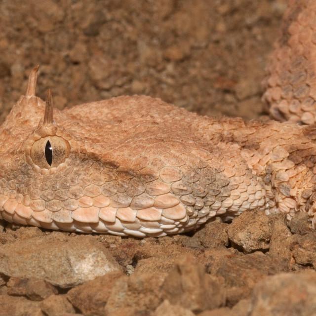 """""""Desert Horned Viper Closeup"""" stock image"""