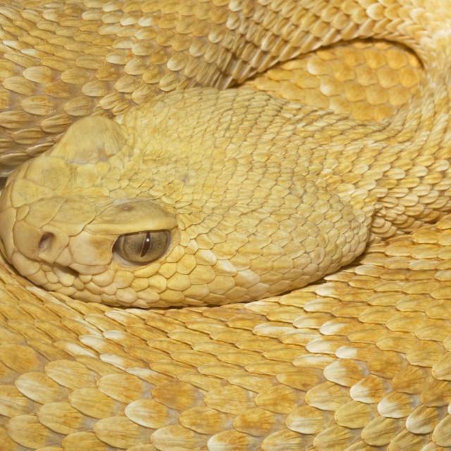 """Albino Texas Rattlesnake Closeup"" stock image"