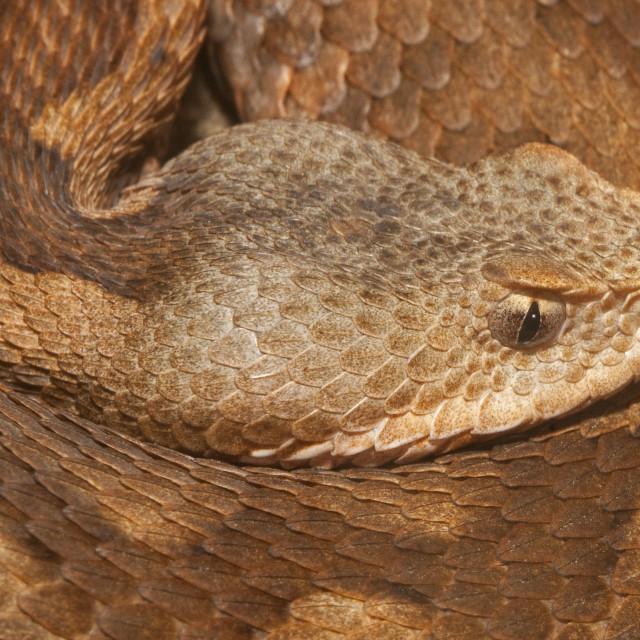 """Long-nosed Viper Closeup Closeup"" stock image"