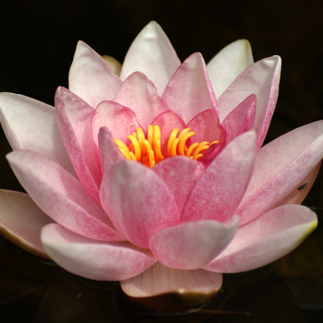 """Lotus Floating"" stock image"