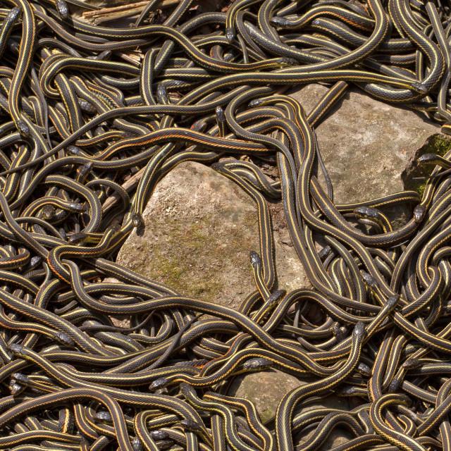 """""""Red sided garter snakes"""" stock image"""