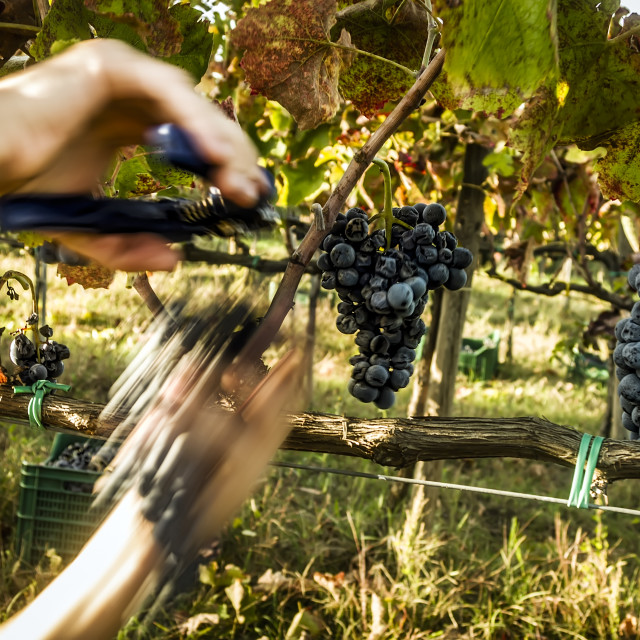 """""""Cutting grapes"""" stock image"""