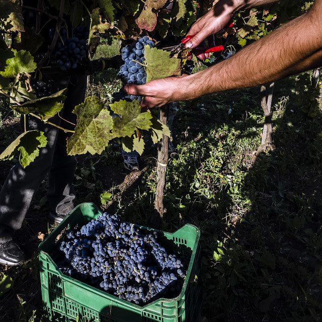 """""""Collecting grapes"""" stock image"""