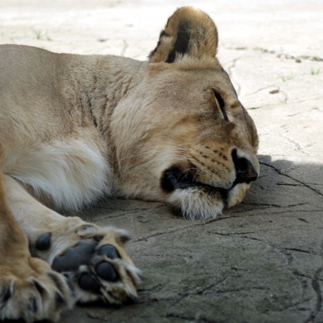"""Sleeping Lion"" stock image"