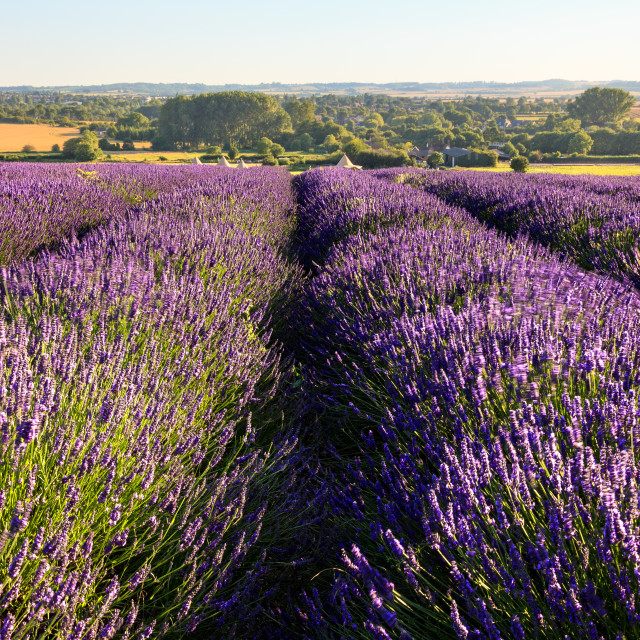 """Lavender Field 3"" stock image"
