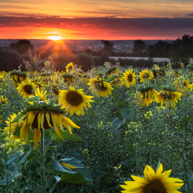 """Sunflowers at Sunset 1"" stock image"