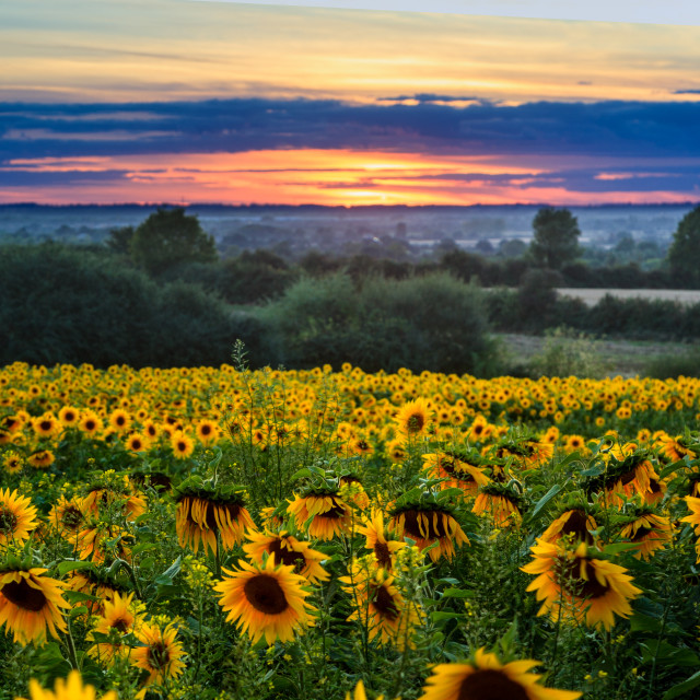 """Sunflowers at Sunset 3"" stock image"