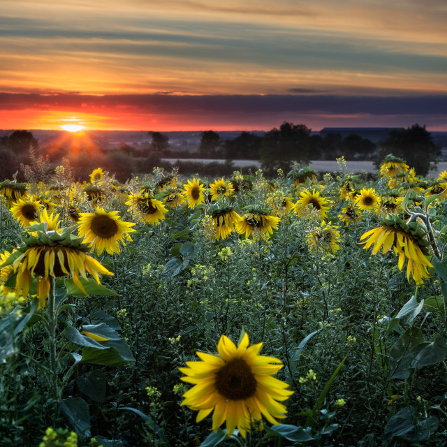 """Sunflowers at Sunset 2"" stock image"