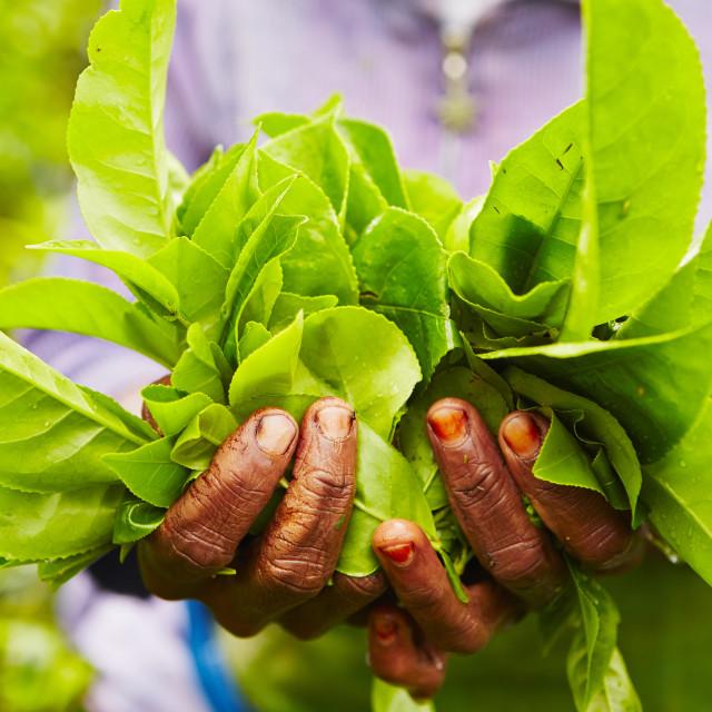 """Hands of women from the tea plantation - Sri Lanka"" stock image"