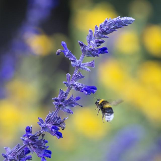"""""""Flying Bumblebee"""" stock image"""