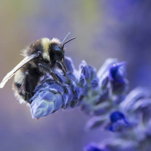 """""""Beautiful Bumblebee on Flower"""" stock image"""