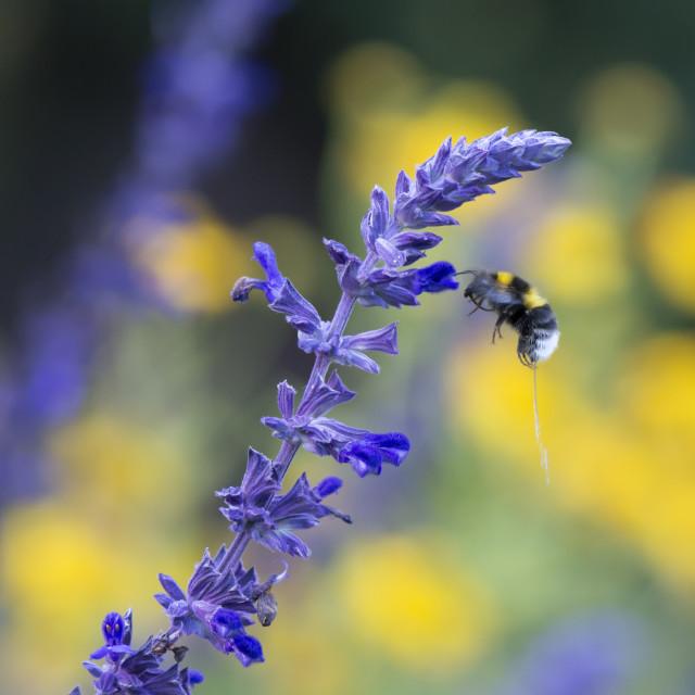 """Urinating Bumblebee"" stock image"