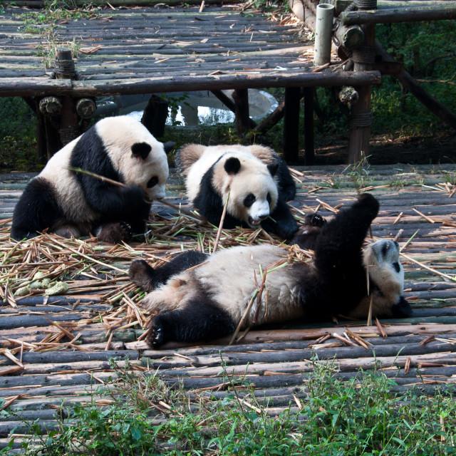 """baby Pandas"" stock image"