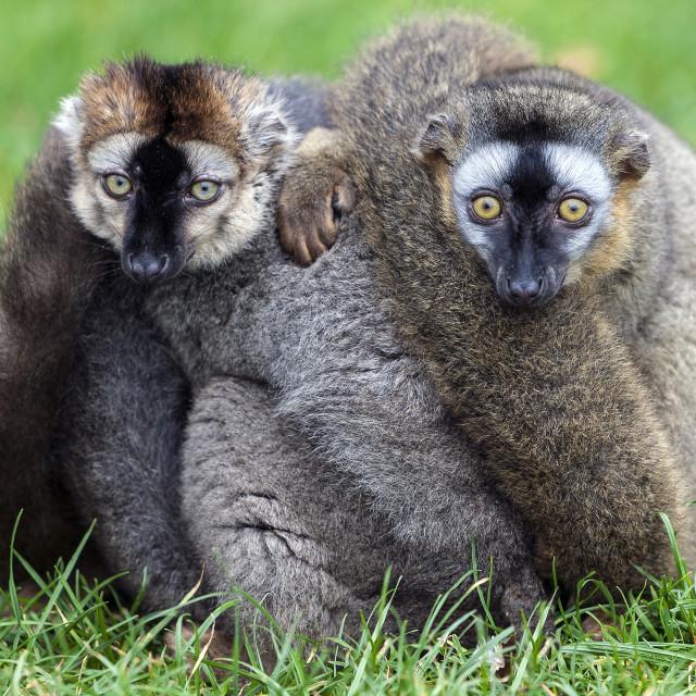 """Lemurs"" stock image"