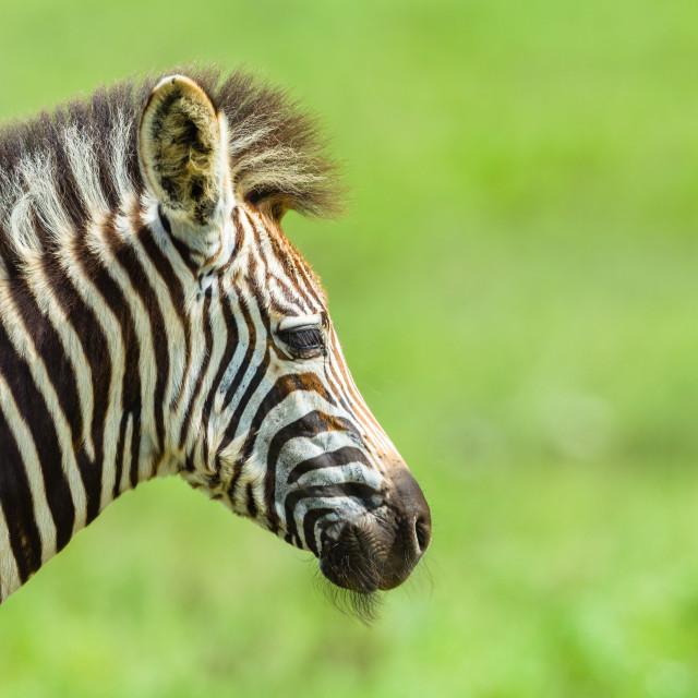"""Zebra Calf Head Neck Closeup Wildlife"" stock image"